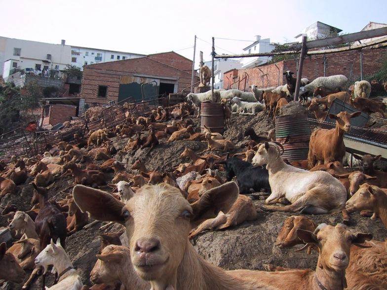 Cabras en el solar